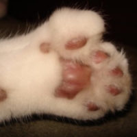 polydactyl cats personality traits