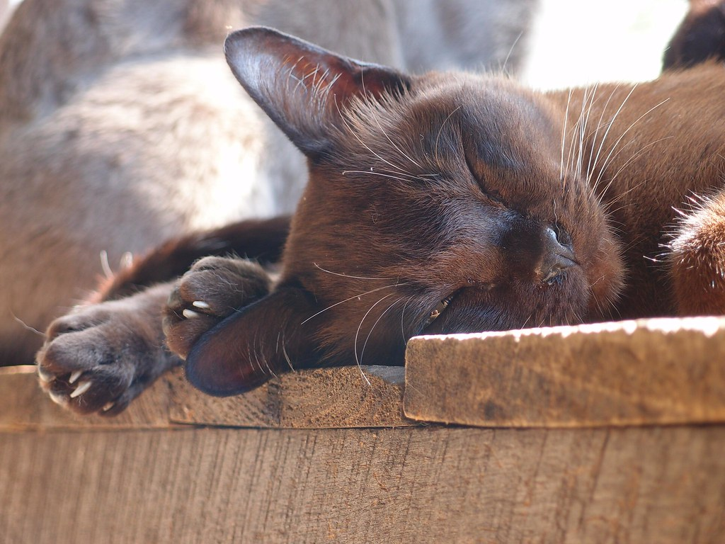 burmese cat-hypoallergenic breed