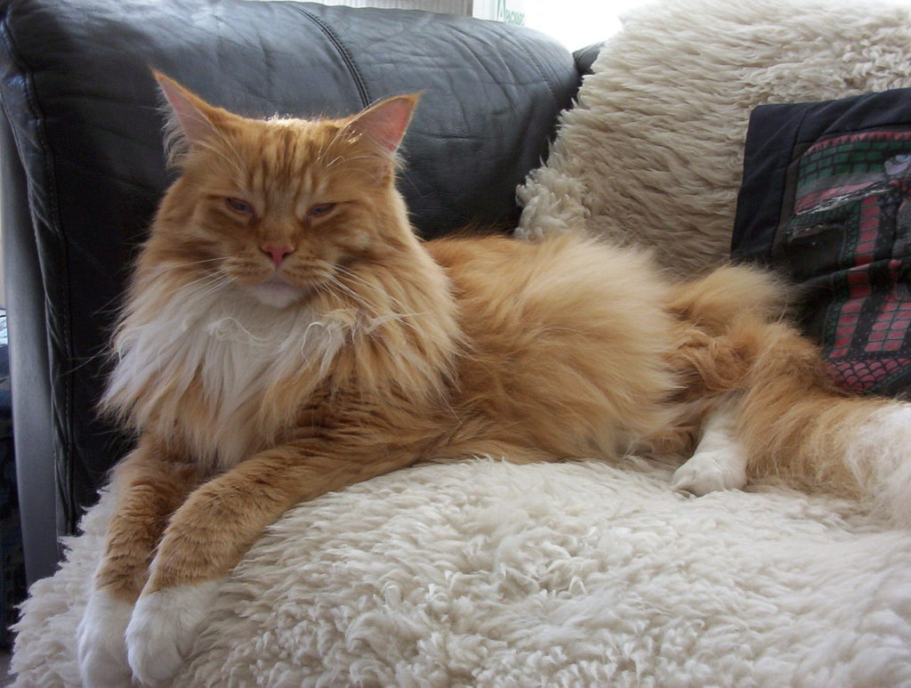 how big do maine coon cats get-ginger and white cat