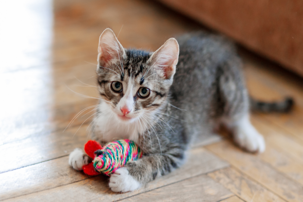 do cats get jealous-kitten playing with toy