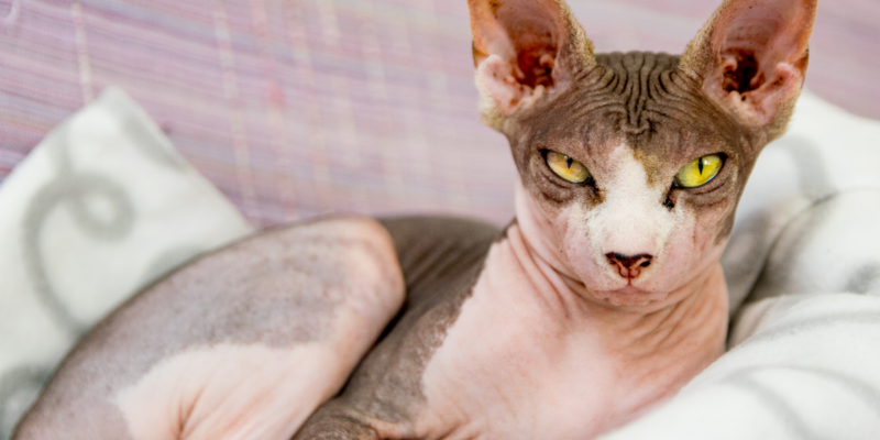 what cats are hypoallergenic