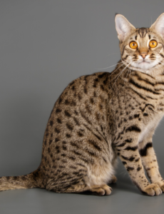 about savannah cats