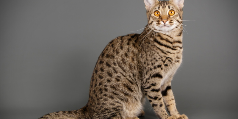 about savannah cats