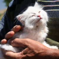 about the turkish van cat