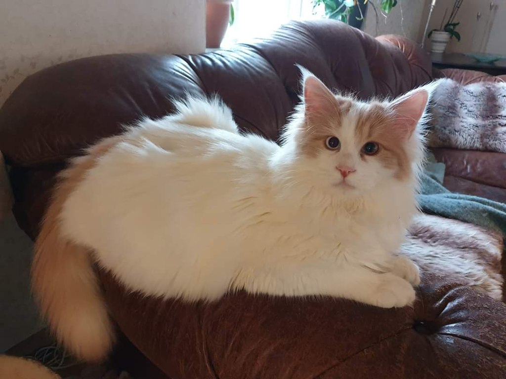 turkish van cat sitting on sofa