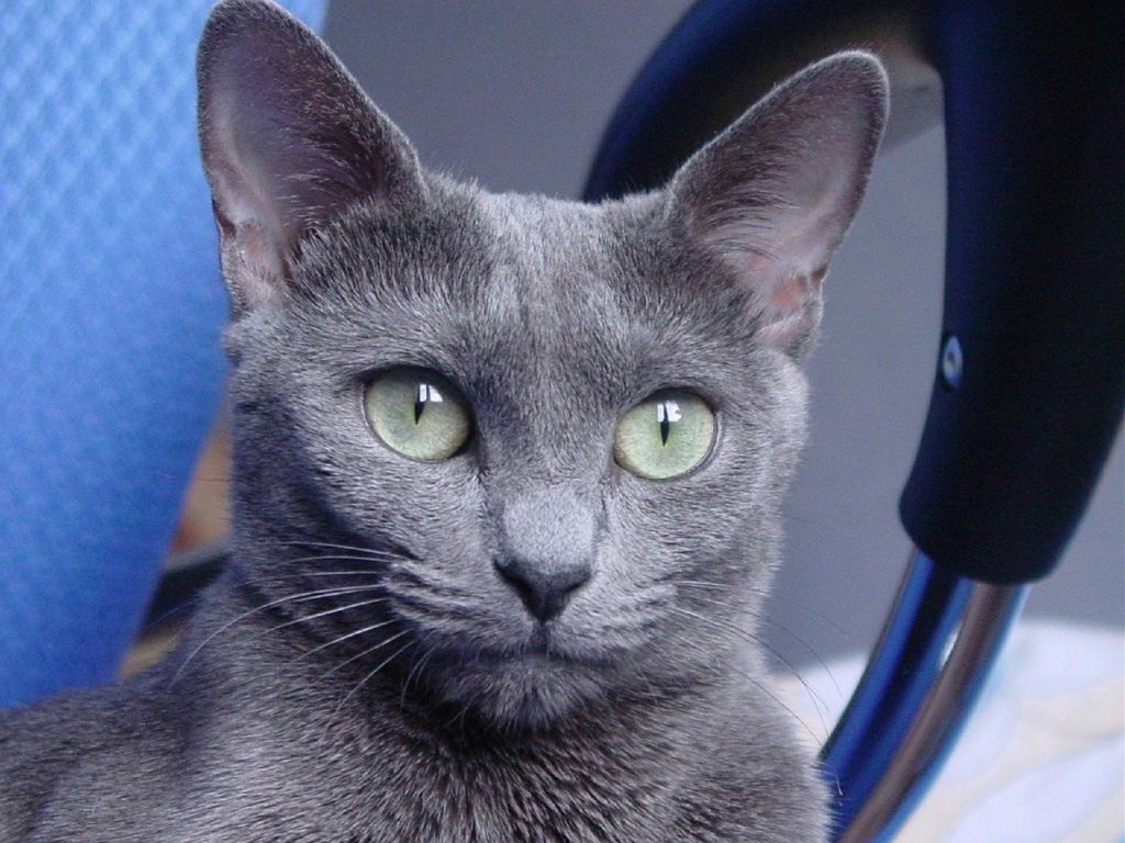 about russian blue cats-can you train them