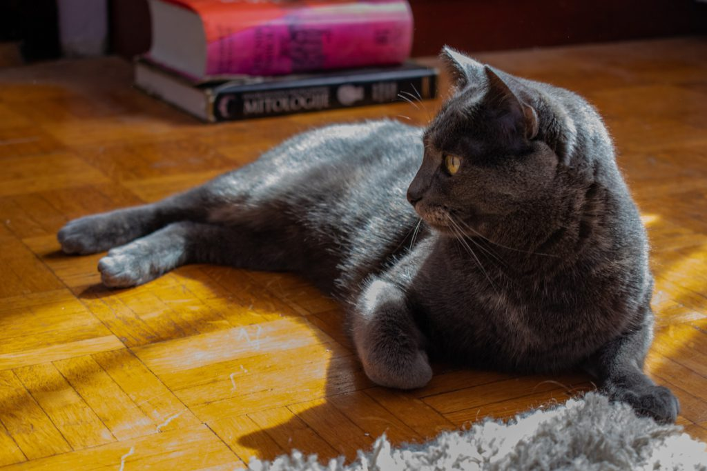 russian blue cat lying on the floor