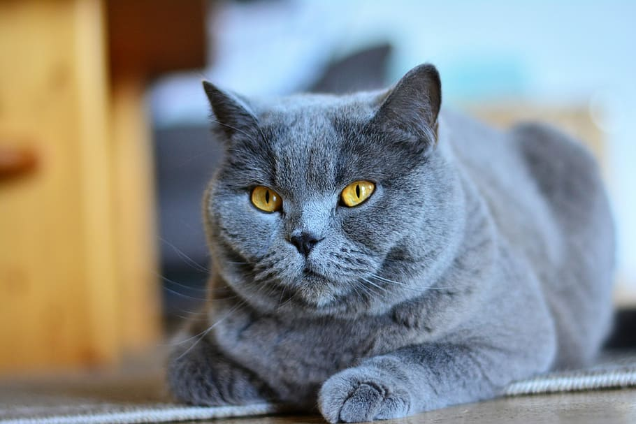 about russian blue cats