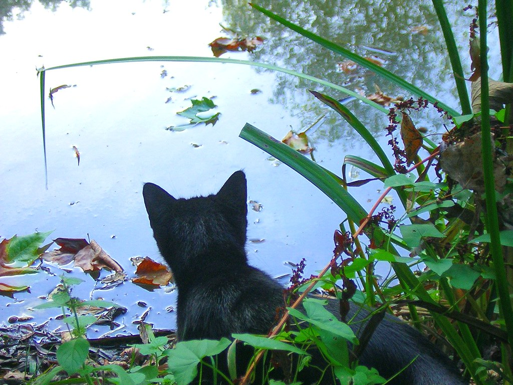 cat looking at pond
