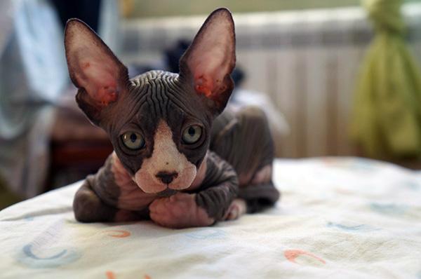 chocolate coloured sphynx cat