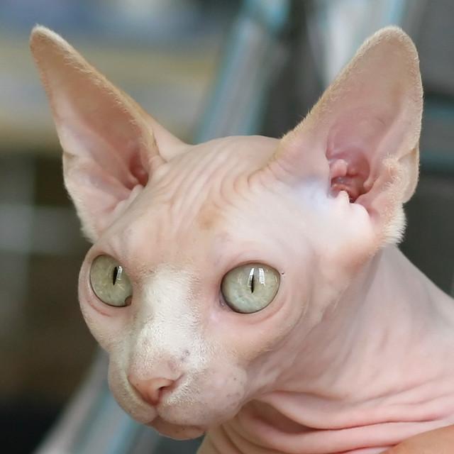 peach coloured sphynx cat