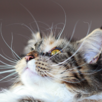 about cat's whiskers