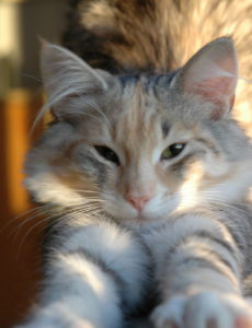 about norwegian forest cats
