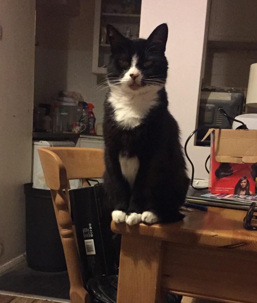 Alfie sitting on dining table-tuxedo cat
