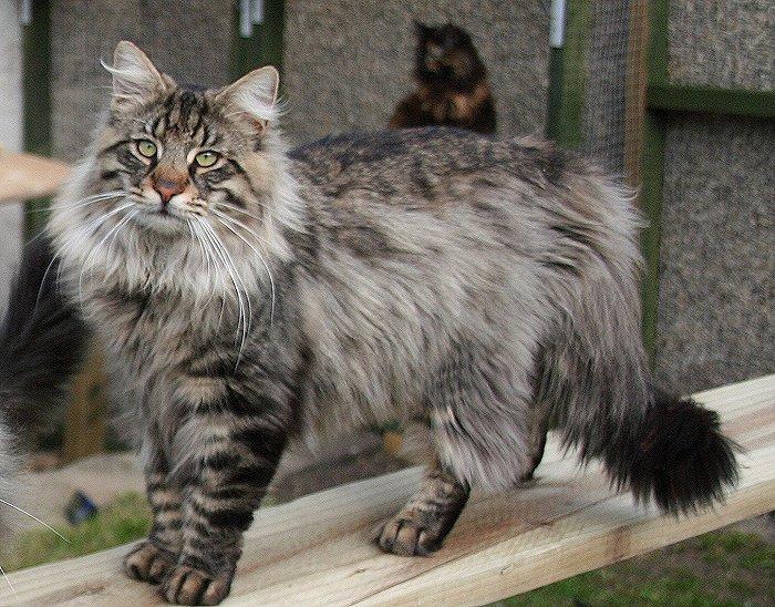 grey norwegian forest cat