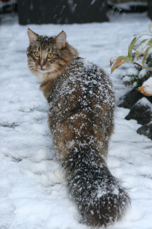 norwegian forest cat in the snow