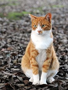 orange tabby similar to the one owned by Winston Churchill
