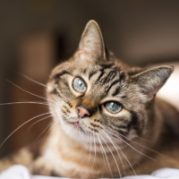 vestibular disease in cats