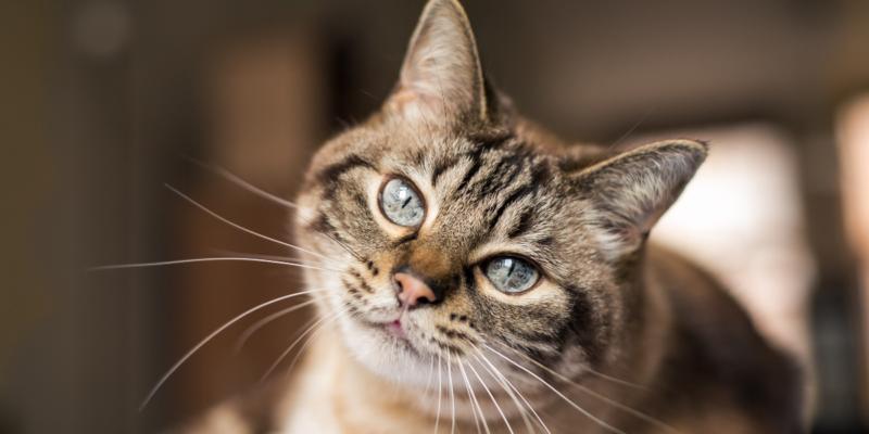 vestibular disease in cats