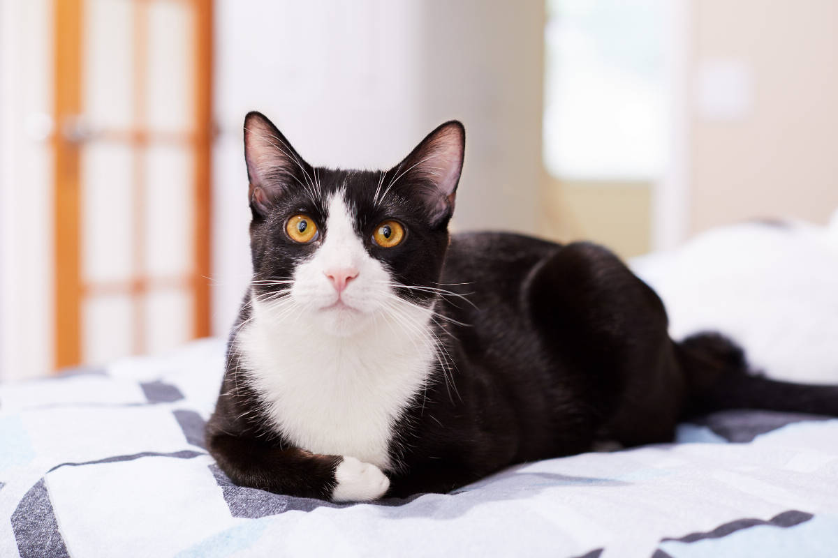 what are tuxedo cats