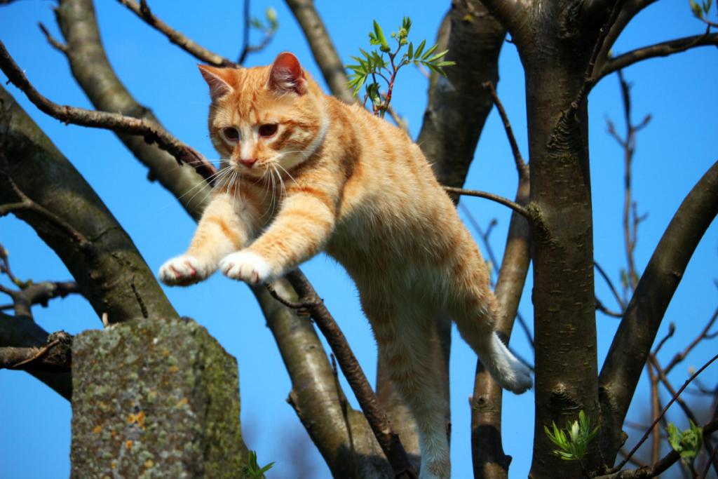 vestibular disease in cats- orange tabby jumping