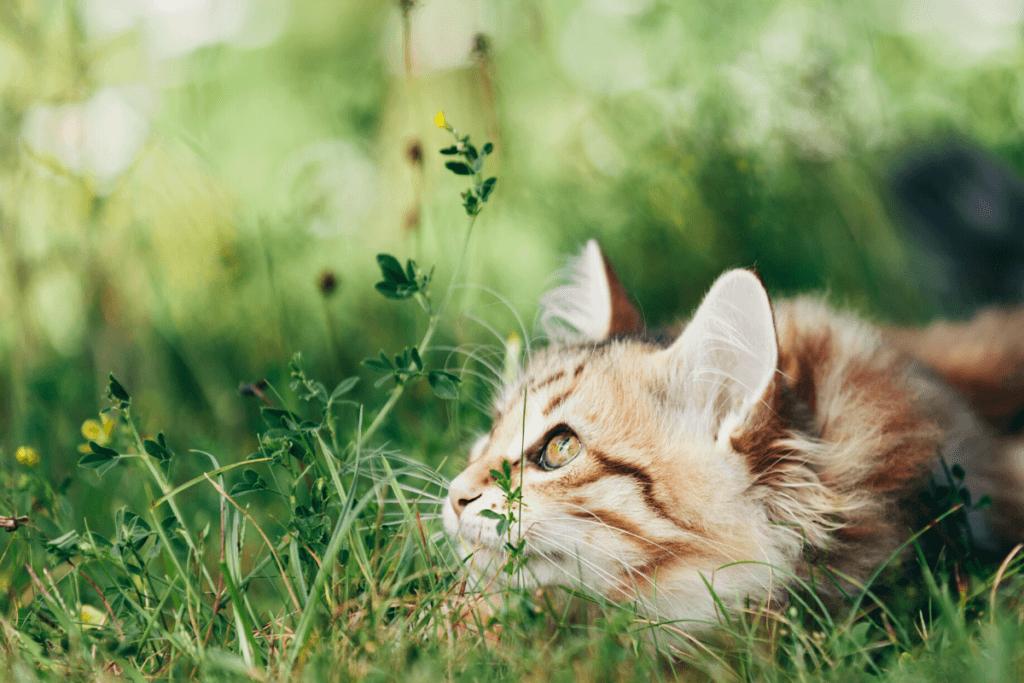 cat stalking prey in field