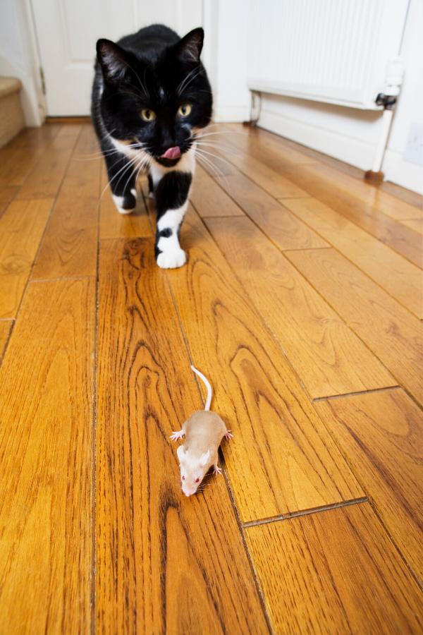 cat bringing prey home