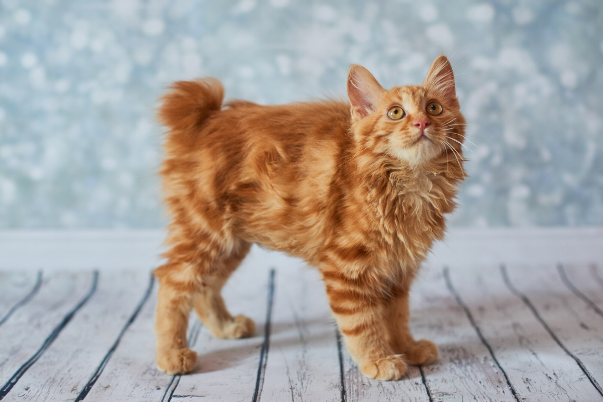 about the american bobtail cat