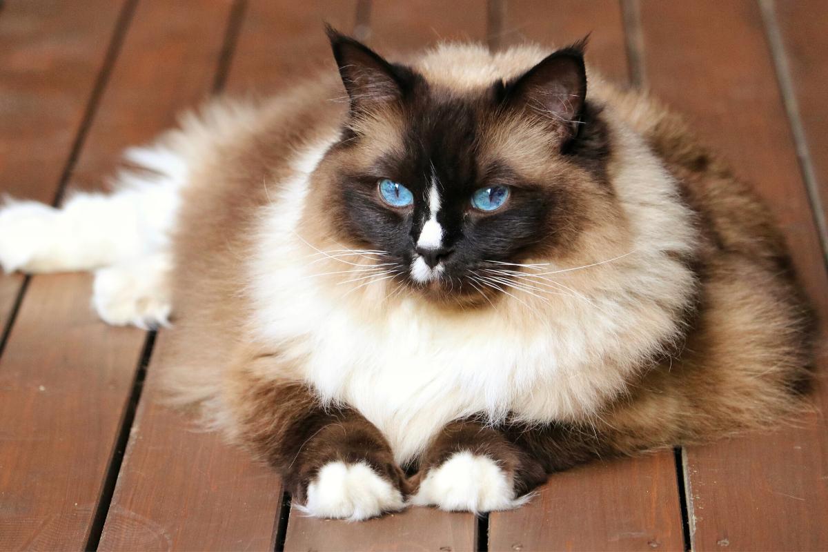 about the birman cat