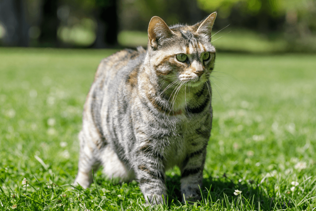 american bobtail cat in field