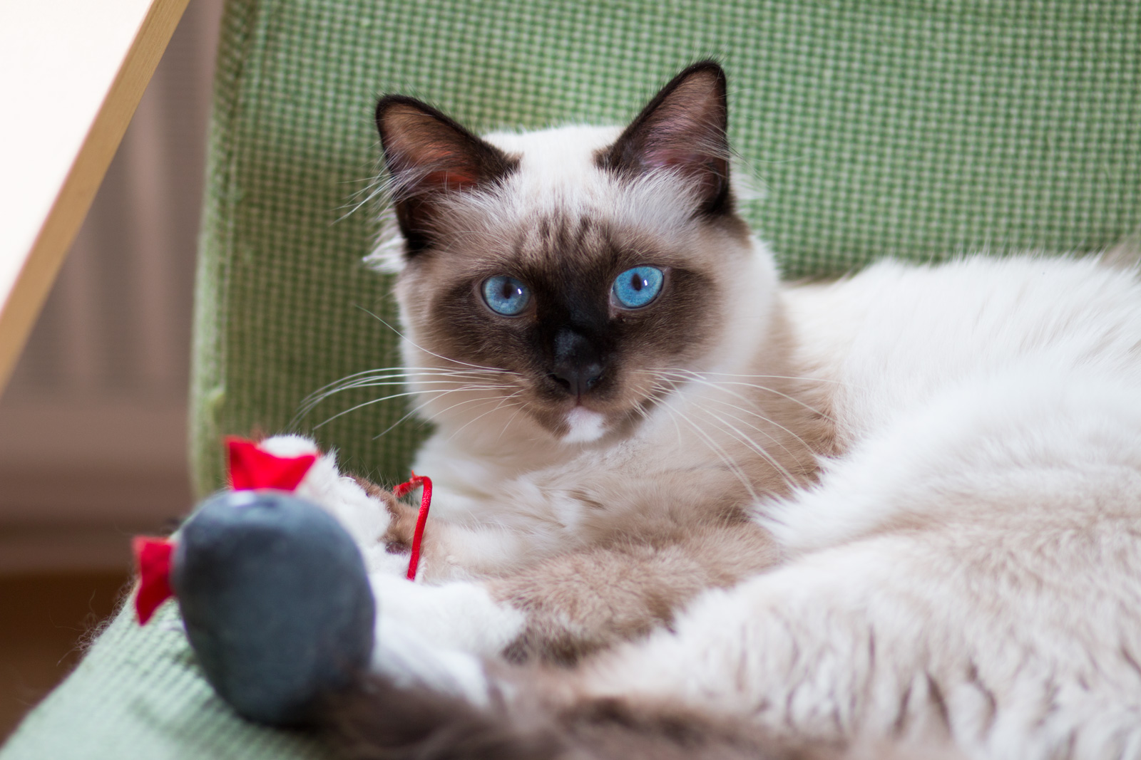about the birman cat