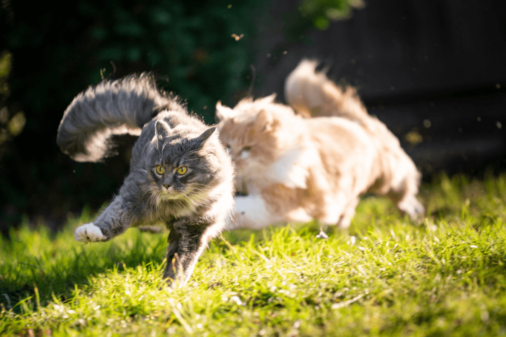 cats chasing each other outside