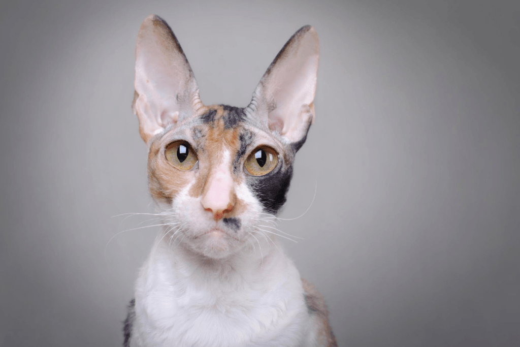 tortoiseshell cornish rex cat