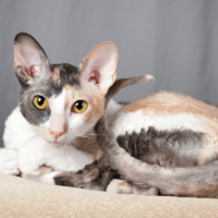 what is a cornish rex cat