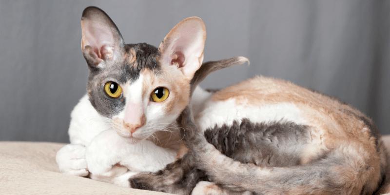 what is a cornish rex cat