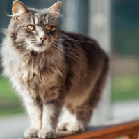 what is hip dysplasia in cats