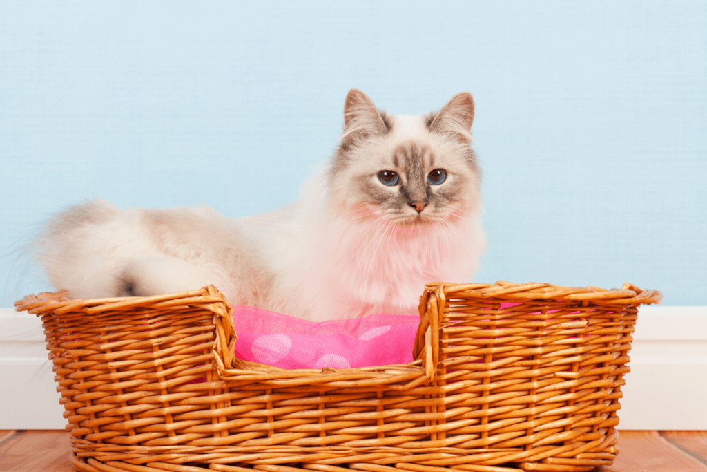 birman cat in cat basket