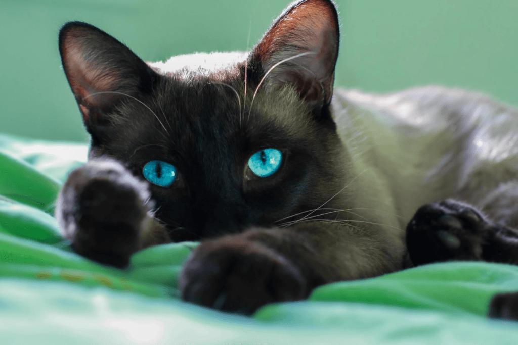 siamese cat with dark points