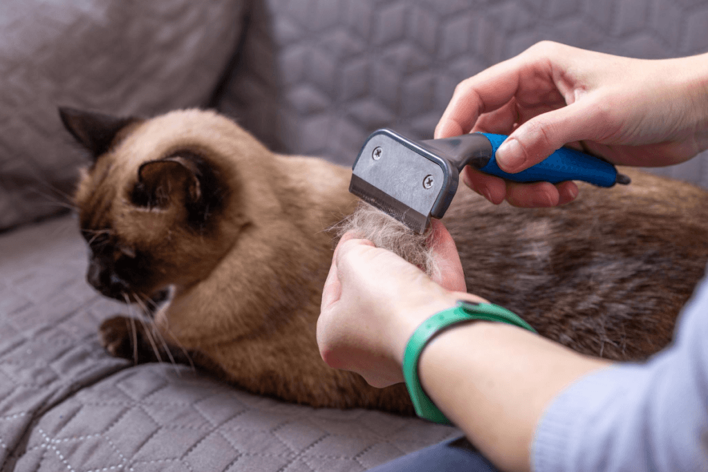 grooming a siamese cat