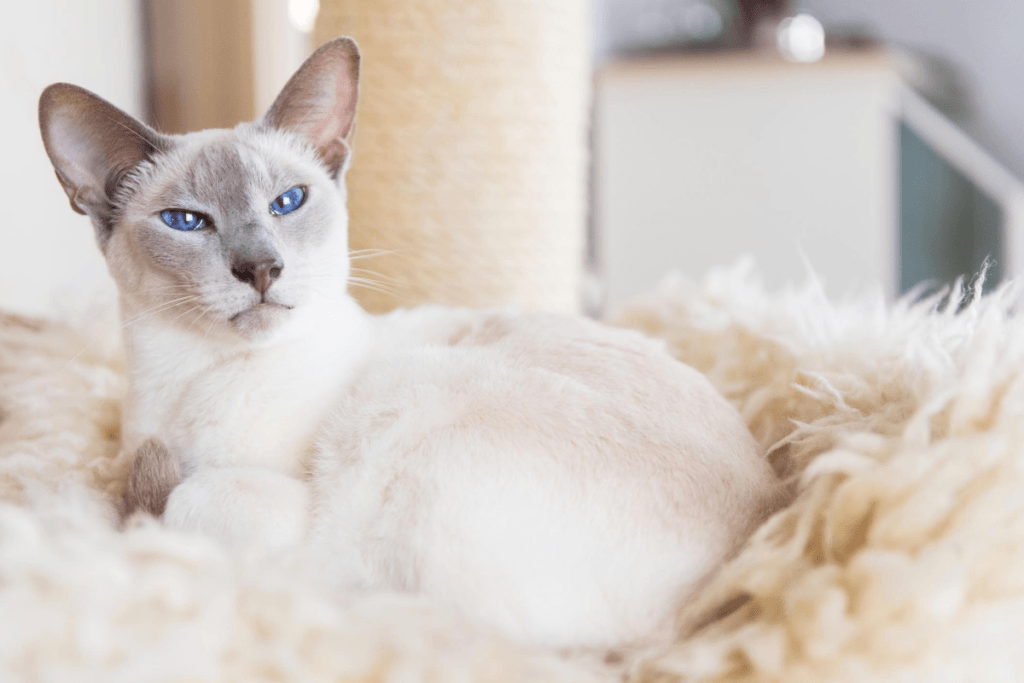 Siamese cat with blue points