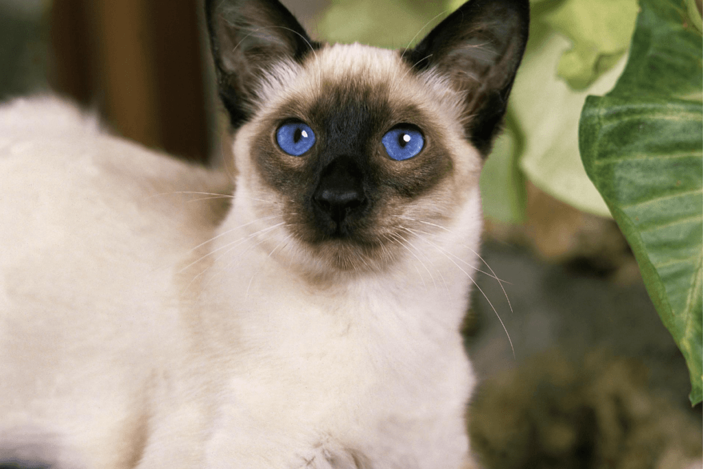 what do balinese cats look like