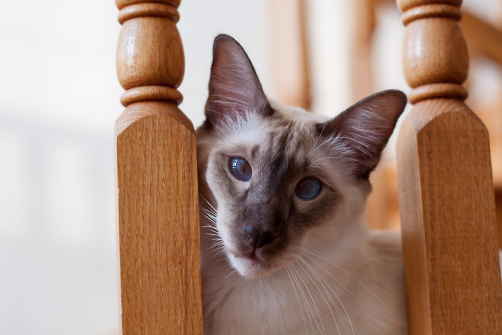 balinese cat with chocolate points