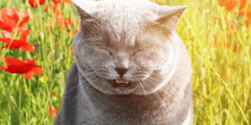 about asthma in cats