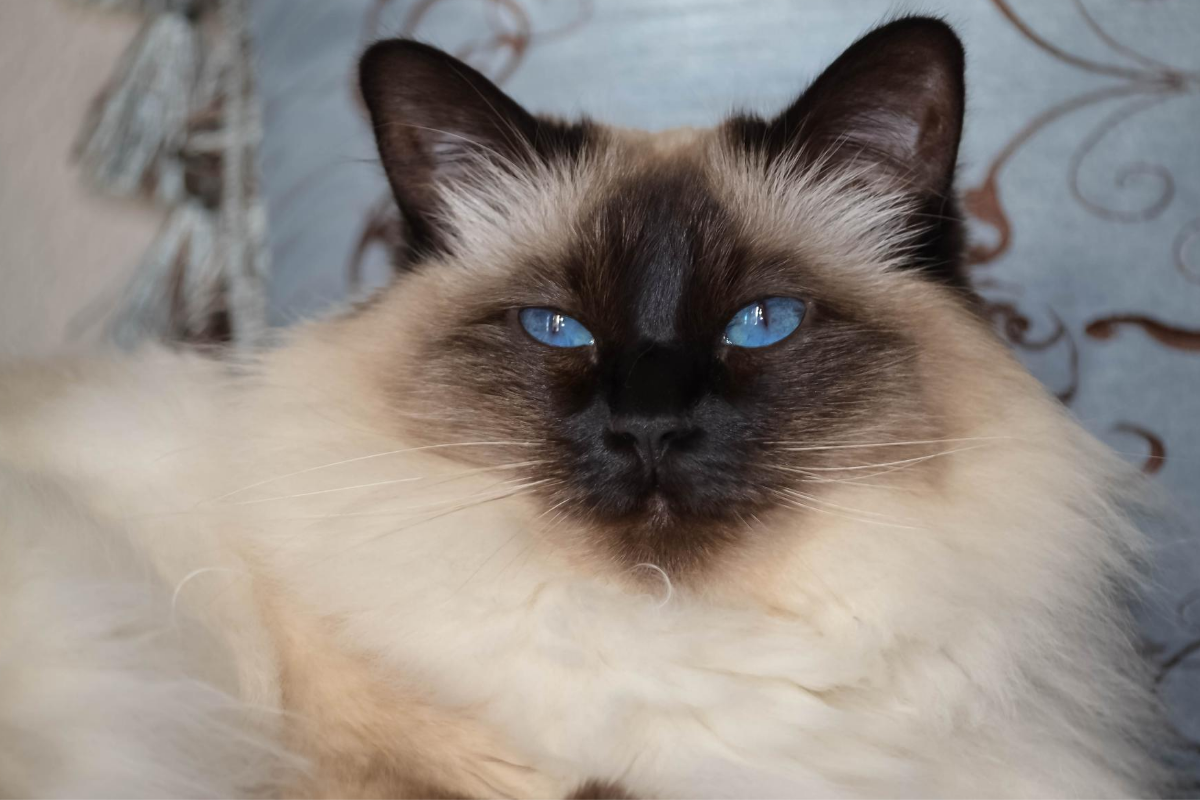 what is a balinese cat