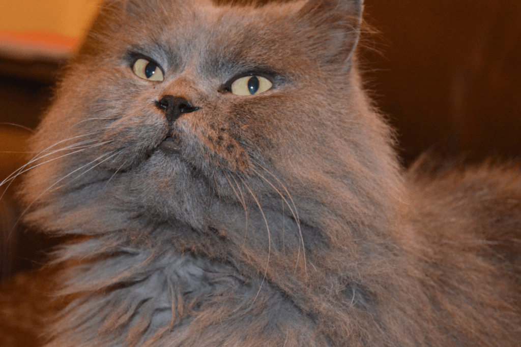 what is a persian cat and are there common health problems