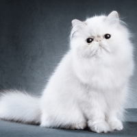 do persian cats make good pets