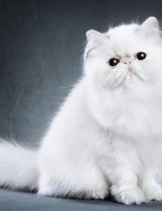 do persian cats make good pets