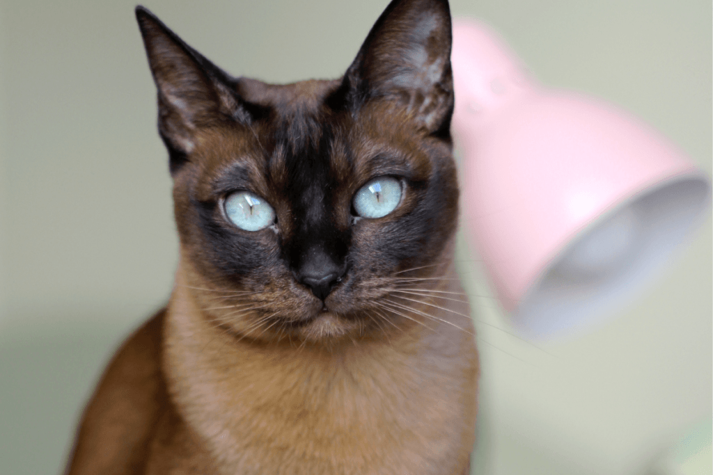 chocolate brown tonkinese cat