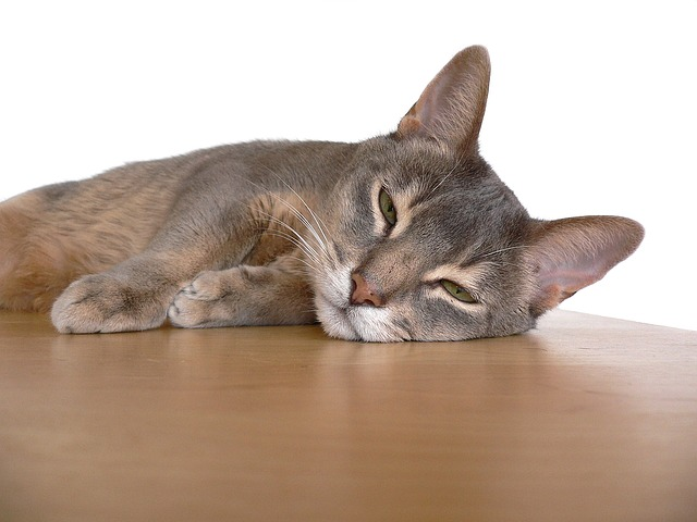 abyssinians are cats that act like dogs