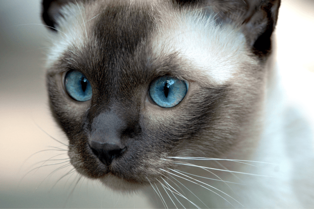 Tonkinese cat coat colors